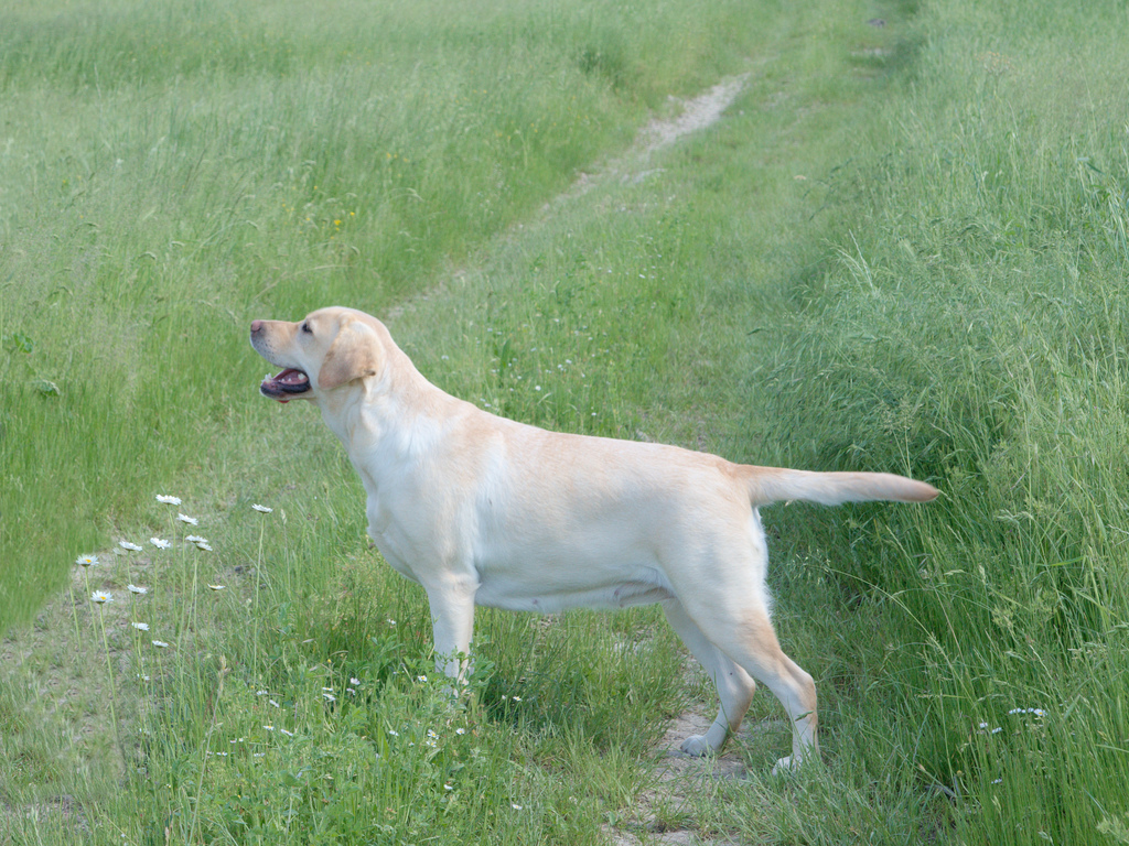 labrador giallo estate